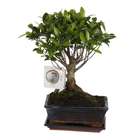 <h4>Bonsai A1151001fi Ficus Retusa Keramiek</h4>