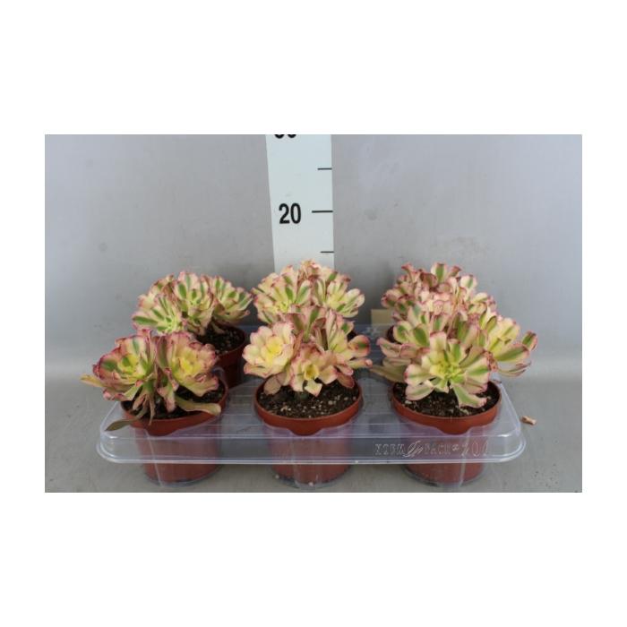 <h4>Aeonium arboreum</h4>