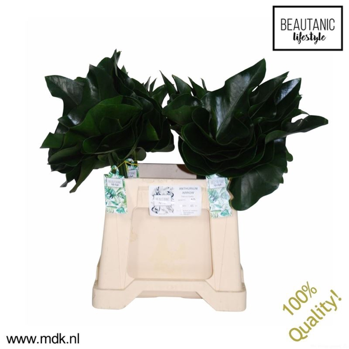 <h4>Anthurium Leaf Arrow</h4>