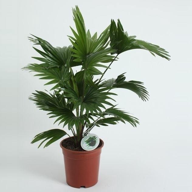 <h4>Livistona rotundifolia</h4>