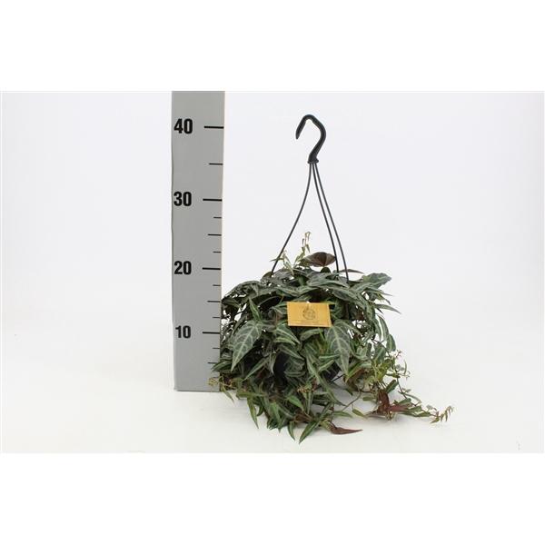 <h4>Parthenocissus Amazonica 15cmHP</h4>