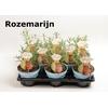 Kruiden NL Rosemarinus officinalis