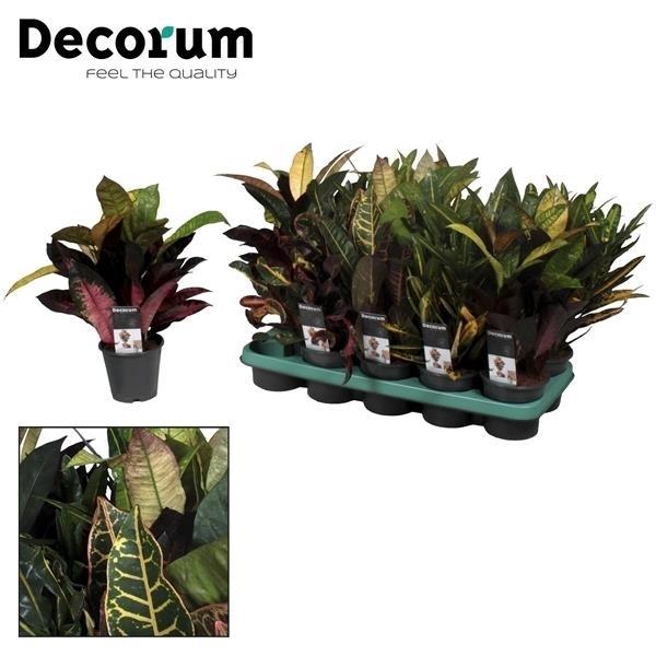 <h4>Croton kopstek 3-5 pp gemengd (Decorum)</h4>