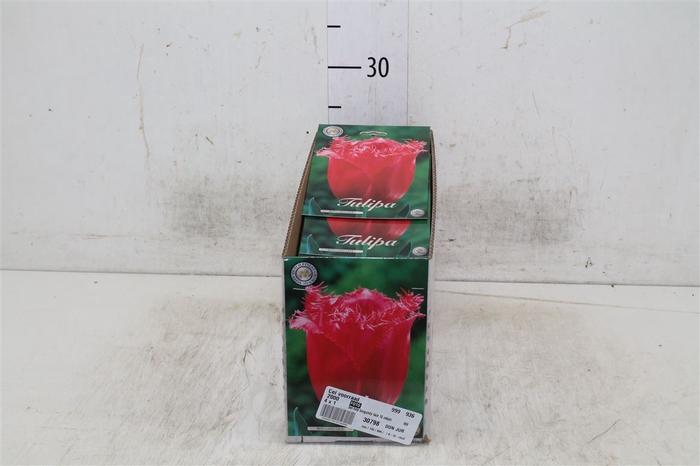 <h4>Bol Tulp Burgundy Lace 10 Zakjes X10</h4>