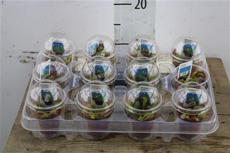 <h4>Dionaea Muscipula In Cup</h4>