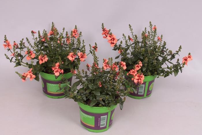 <h4>Diascia Flying Colors Apricot</h4>