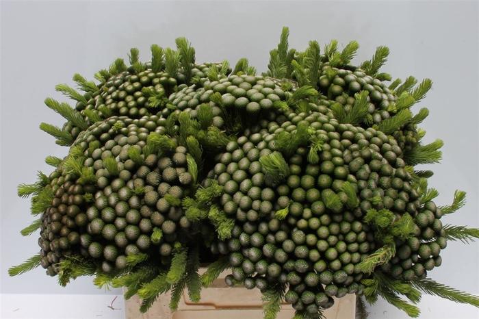 <h4>Kaaps Albiflora Medium</h4>