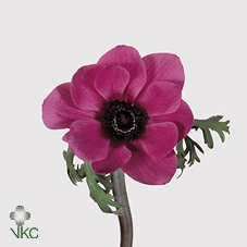 <h4>Anemone Orchid</h4>