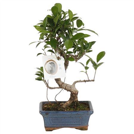 <h4>Bonsai A1152001fi Ficus Retusa Keramiek</h4>