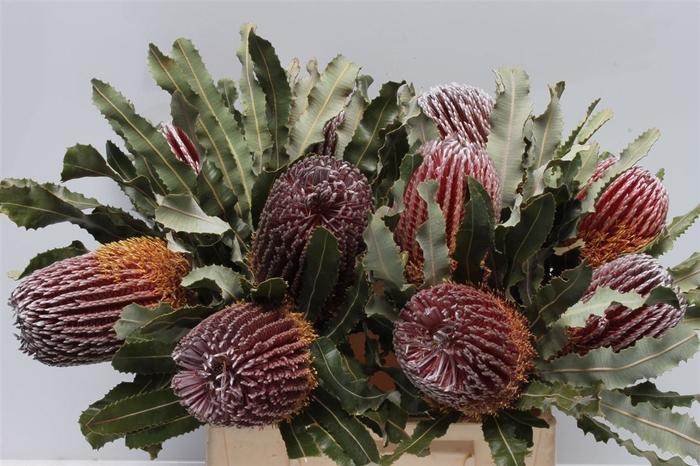 <h4>Banksia Menziesi</h4>