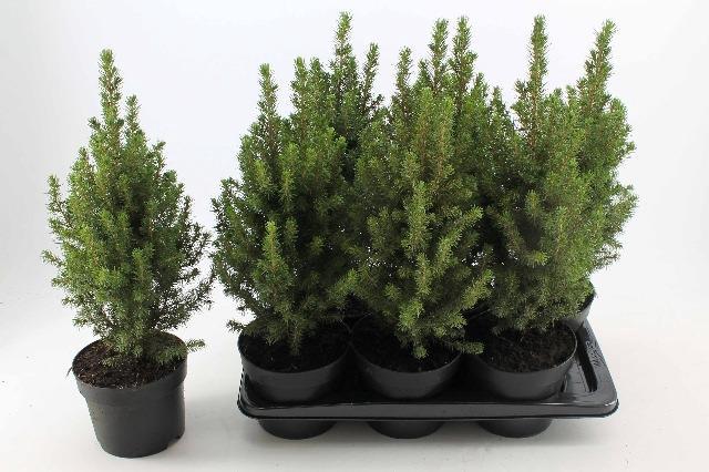 <h4>Picea glauca Perfecta</h4>