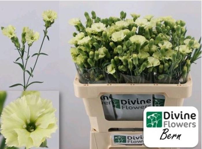 <h4>Dianthus Solomio Bern</h4>