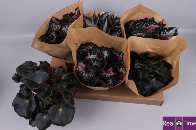 Begonia Beleaf mix 12Ø 25cm