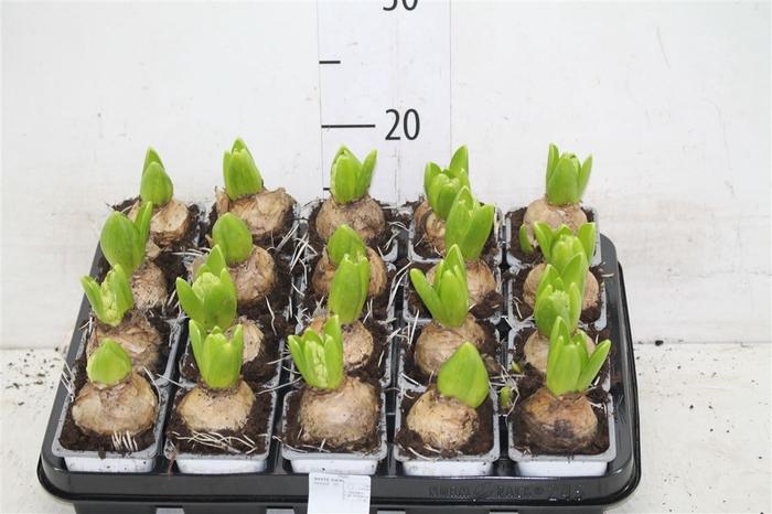 <h4>Hyacinthus White Ideal 1pp</h4>