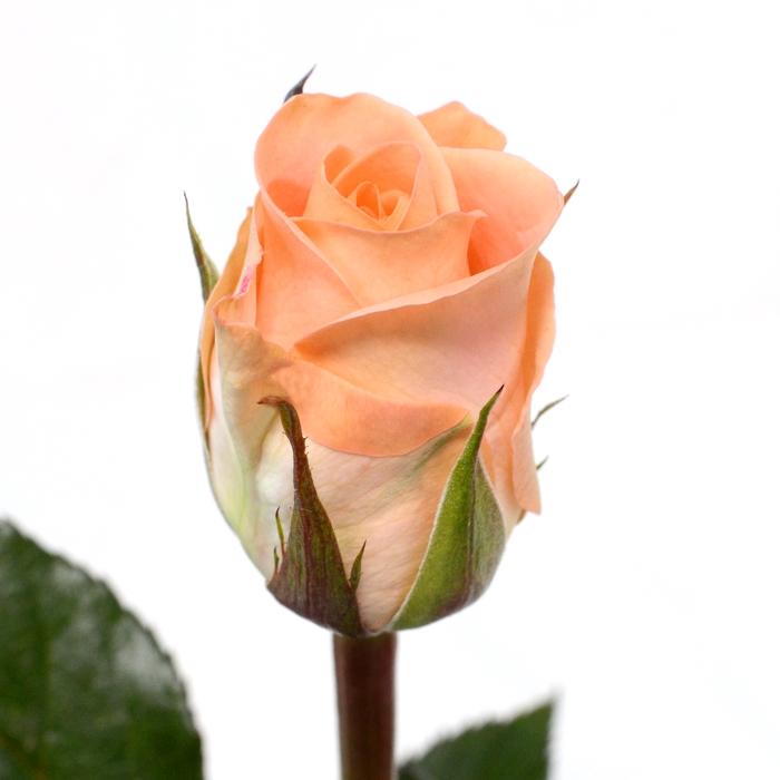 <h4>Rose Mayfair</h4>
