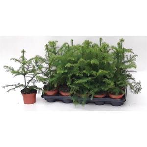 Araucaria Heterophylla 10Ø 35cm 1pp