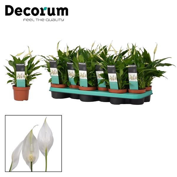 <h4>Spathiphyllum 10,5 cm Rondo Decorum</h4>