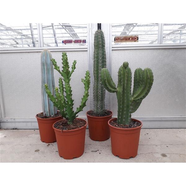 <h4>Cactus gemengd Opgaande soorten</h4>