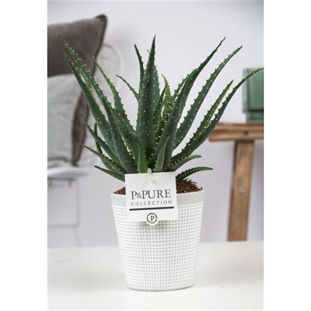 <h4>Aloe Arborescens In Pure Clay Ii Grey</h4>