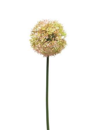 <h4>Allium Quinque 72cm Pink</h4>