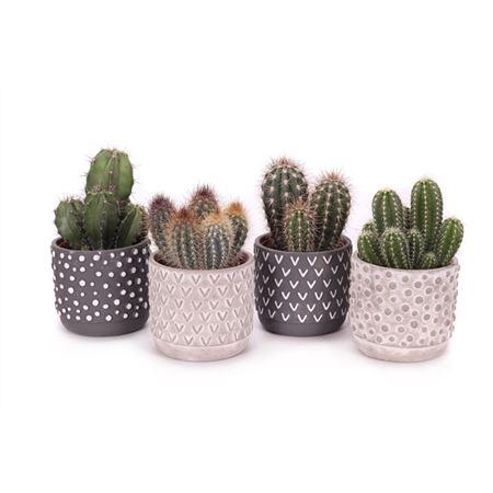 <h4>Cactus 12 Cm In 2 Kleuren ''tonsberg'' Sierpot</h4>