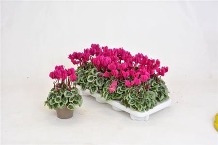 <h4>Cyclamen Kl S S Picasso Paars</h4>