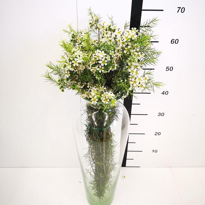 <h4>Flor de cera blanca abierta (ofir)</h4>