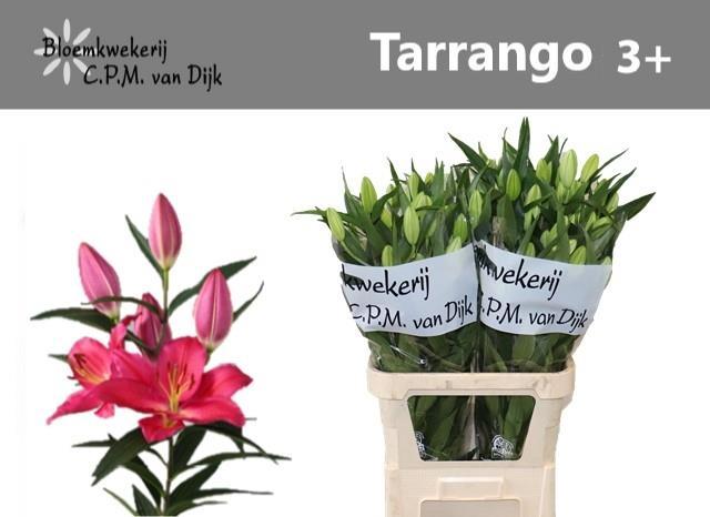 <h4>Li Or Tarrango</h4>