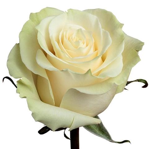 <h4>R Gr Mondial White 70cm EC</h4>