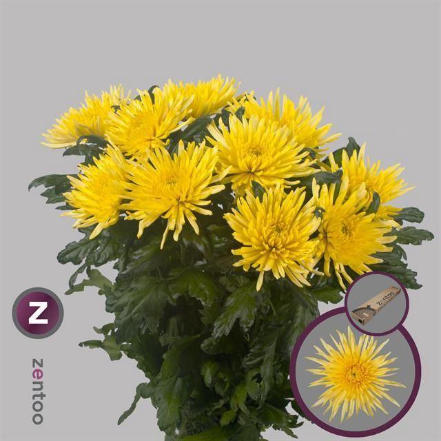 <h4>Chrysanthemum PL 'Anast Sunny'</h4>