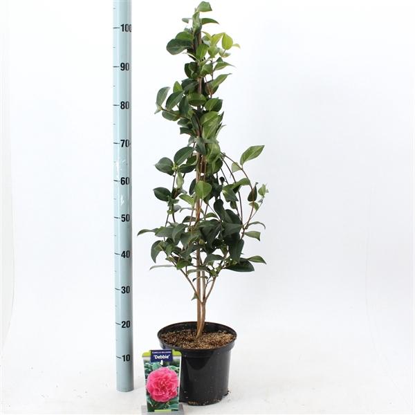 <h4>Camellia wil. 'Debbie'</h4>