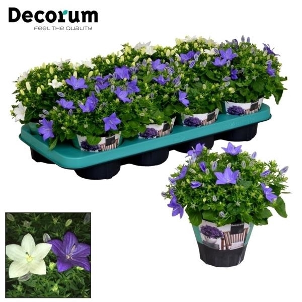 <h4>Campanula Blauw Wit Mix Decorum</h4>