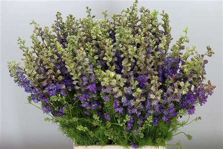<h4>Delph (rids) Violet Lilac</h4>