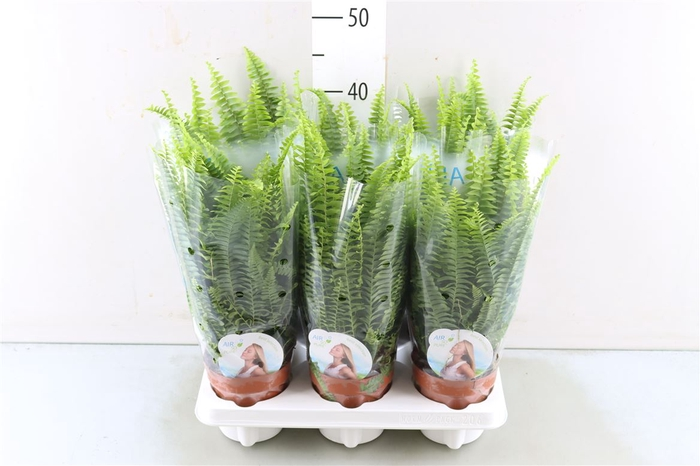 <h4>Nephrolepis Green Lady</h4>
