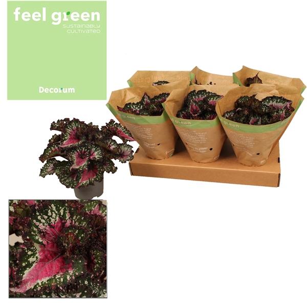<h4>Bladbegonia  ''purple blush''</h4>