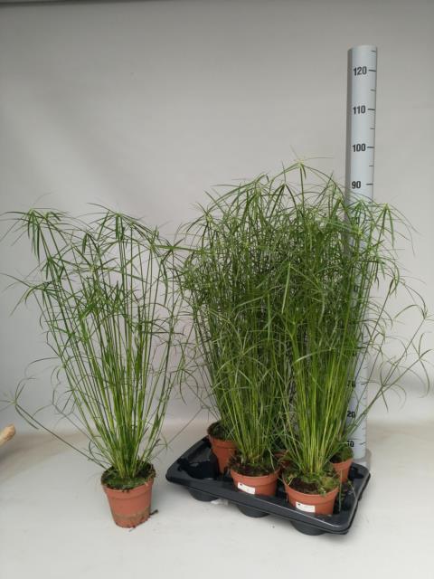 <h4>Cyperus alternifolius 15Ø 75cm</h4>