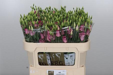 <h4>Eust E Piccolo Rose</h4>