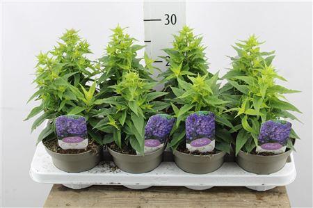 <h4>Phlox Paniculata Blue</h4>