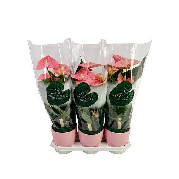 <h4>Anthurium roze keramiek 17cm</h4>