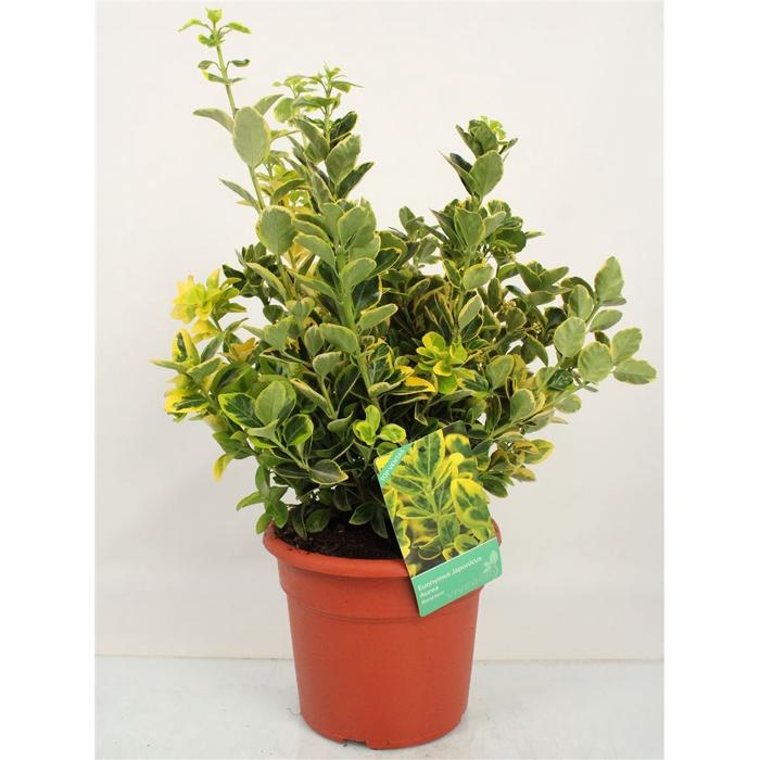 <h4>Euonymus Japonicus 'aureus' Bush</h4>