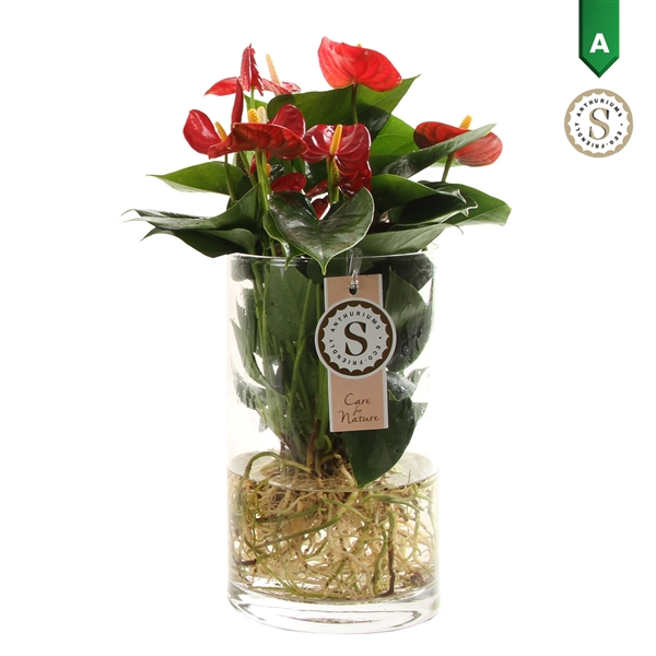 <h4>Anthurium Aqua Roots Cilinder Red</h4>