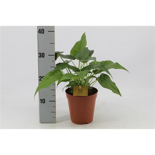 <h4>Alocasia Cucullata 15cm</h4>