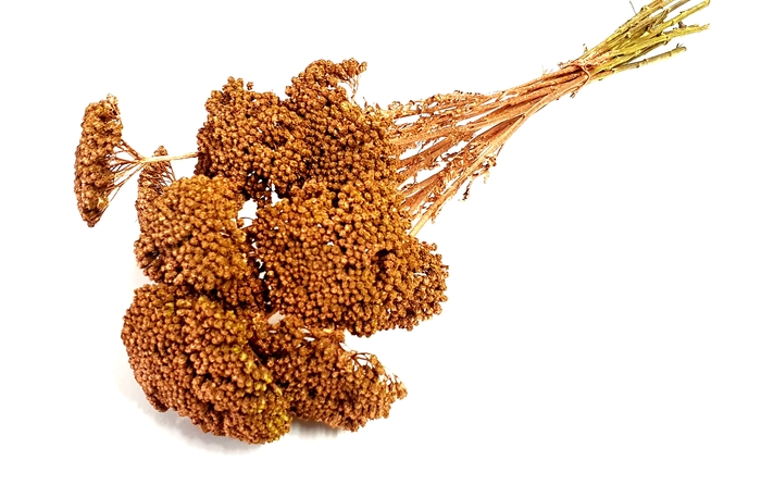 <h4>Achillea per stem Copper</h4>