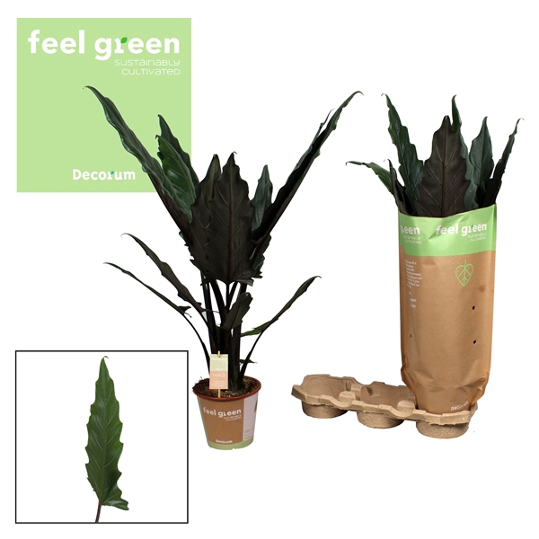<h4>Alocasia Lauterbachiana Feel Green</h4>