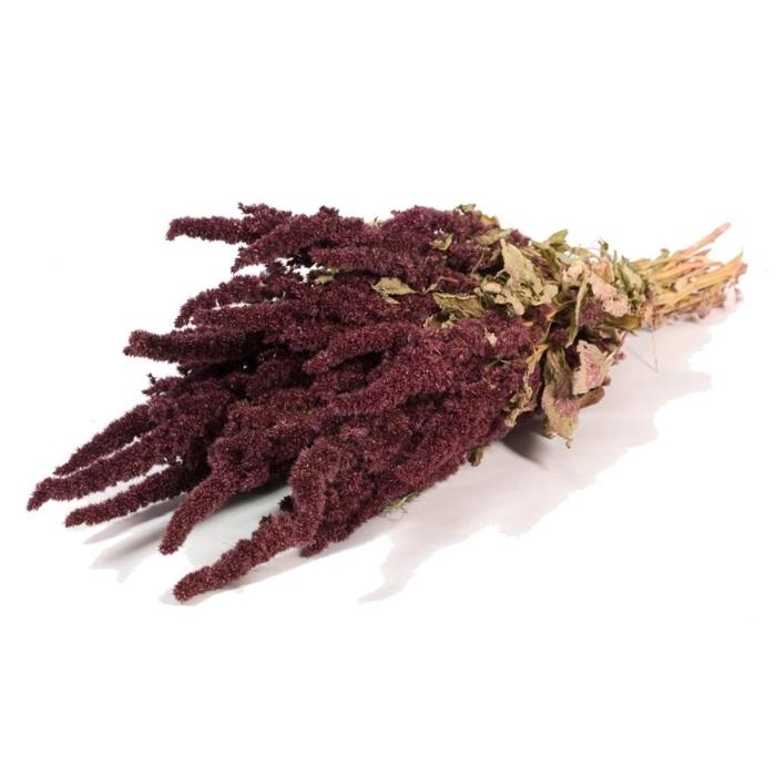 <h4>Amaranthus nat red</h4>