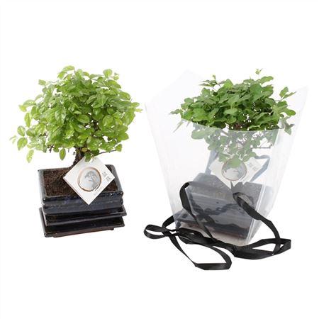 <h4>Bonsai A1151936 Gemengd Keramiek + Giftbag</h4>