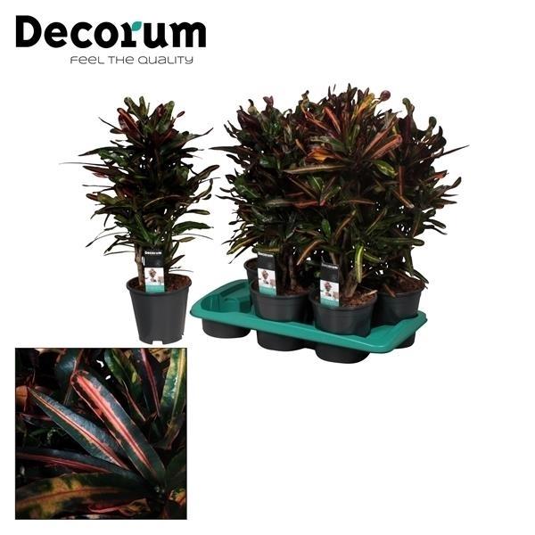 <h4>Croton Mammi vertakt (Decorum)</h4>