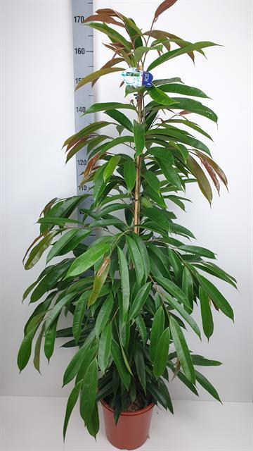 <h4>Ficus Amstel King 27Ø 160cm</h4>