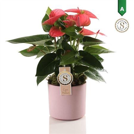 <h4>Anth St Pink Champion Keramiek Bari Pink</h4>