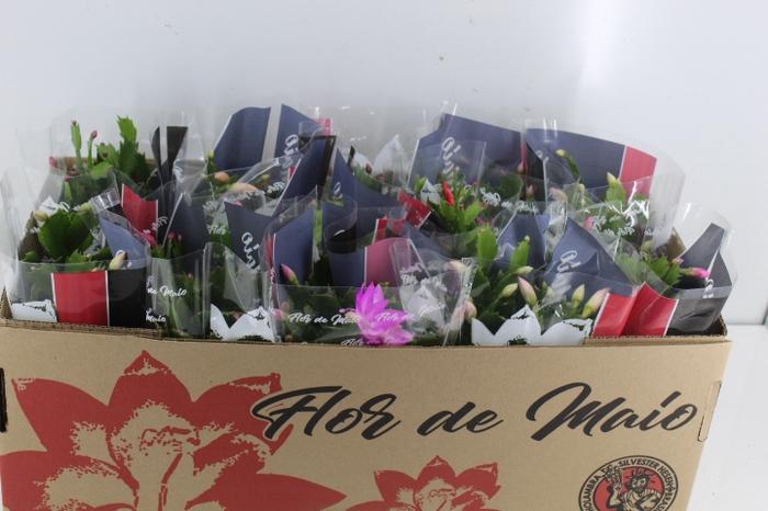 <h4>FLOR DE MAIO P11</h4>